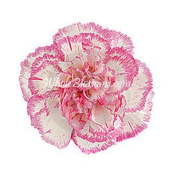 Wholesale Bi Color White Pink Carnations Carnation Flower Pink Carnations Carnations