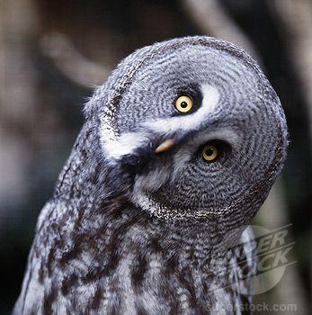 Mauritius Owl | Owls Are A Hoo...