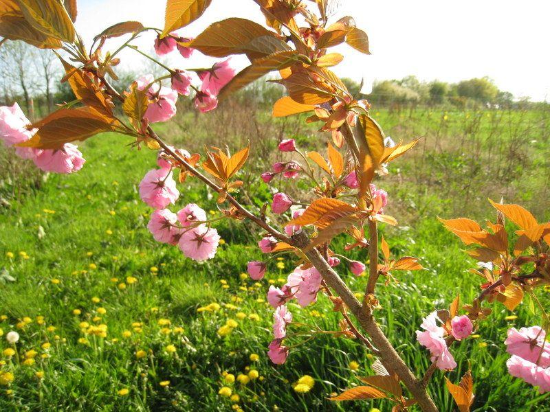 Cerisier à fleurs au printemps jardindesmerlettes