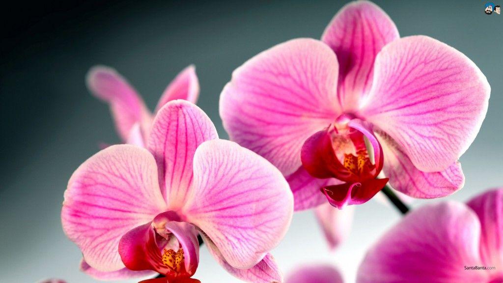 Resultado de imagem para hinh anh hoa phong lan