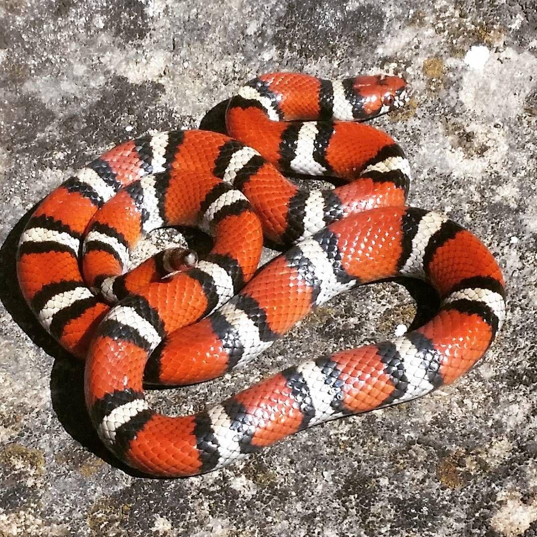 Right U R: A Harmless Milk Snake |Milk Snake Humor