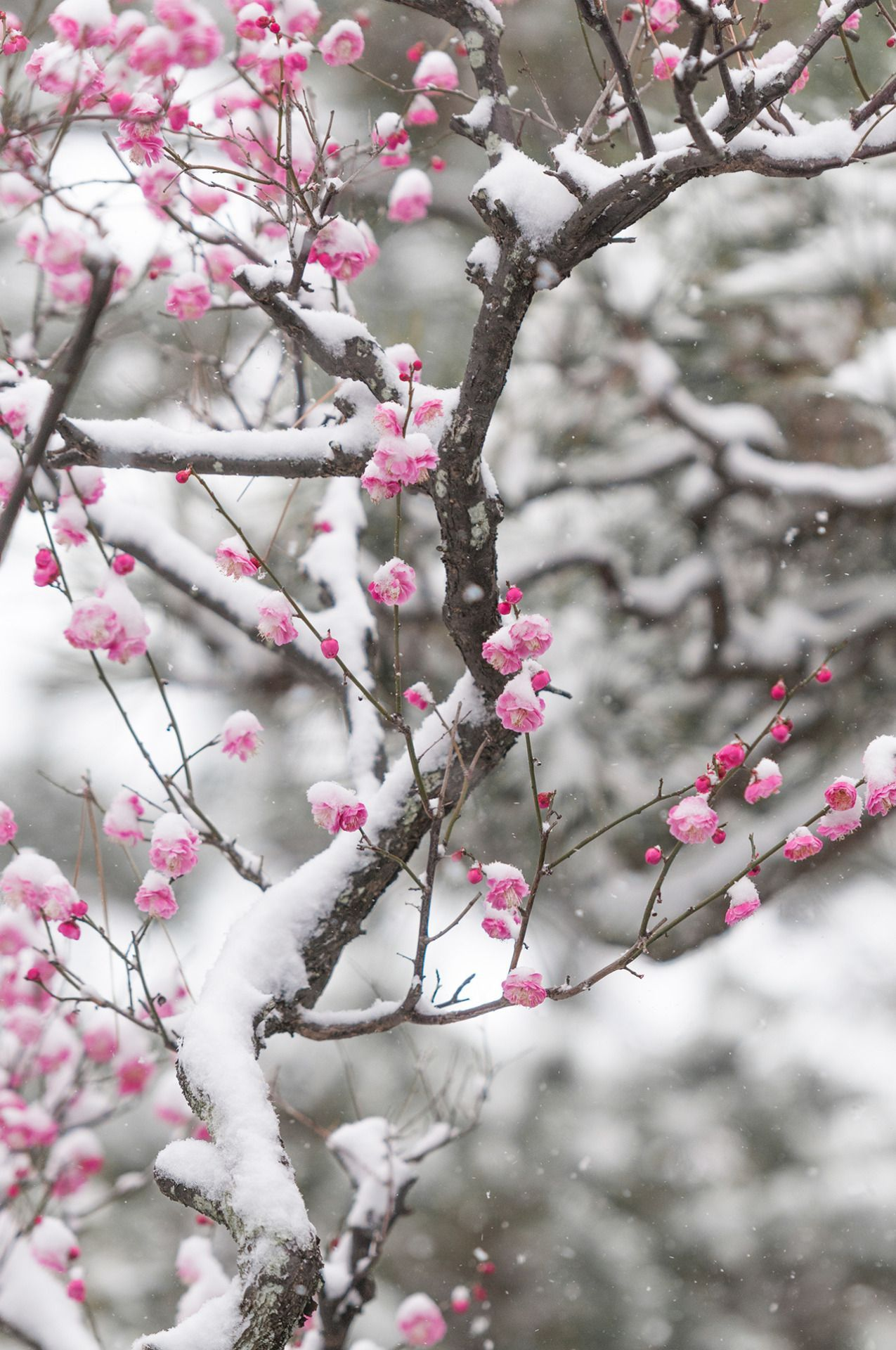 Flowers In Snow Flowers Nature Love Flowers Snowy Day Photo Tree Blossom Flower Cherry Blossom Winter W Rose Flower Wallpaper Flowers Nature Love Flowers
