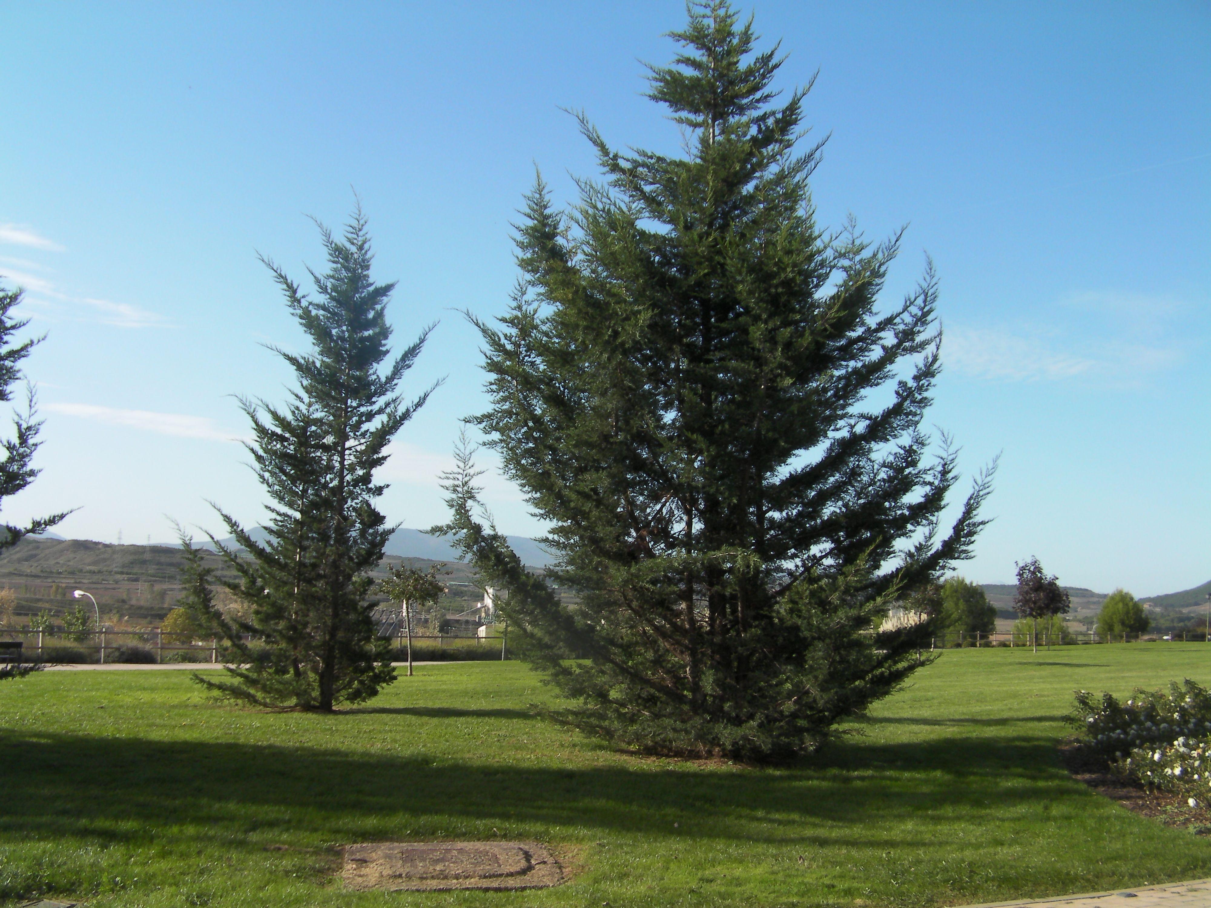 Con feras pinos rboles y arbustos pinterest - Arboles y arbustos ...