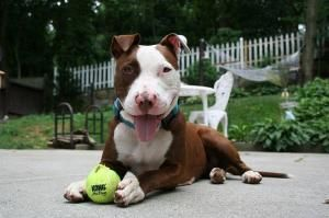 Gixer aka Hazel is an adoptable Pit Bull Terrier Dog in Ridgewood, NY. Gixer aka Hazel was adopted from NYACC and dropped off at a kill shelter upstate NY. PMAR now has taken her in and she is in fost...