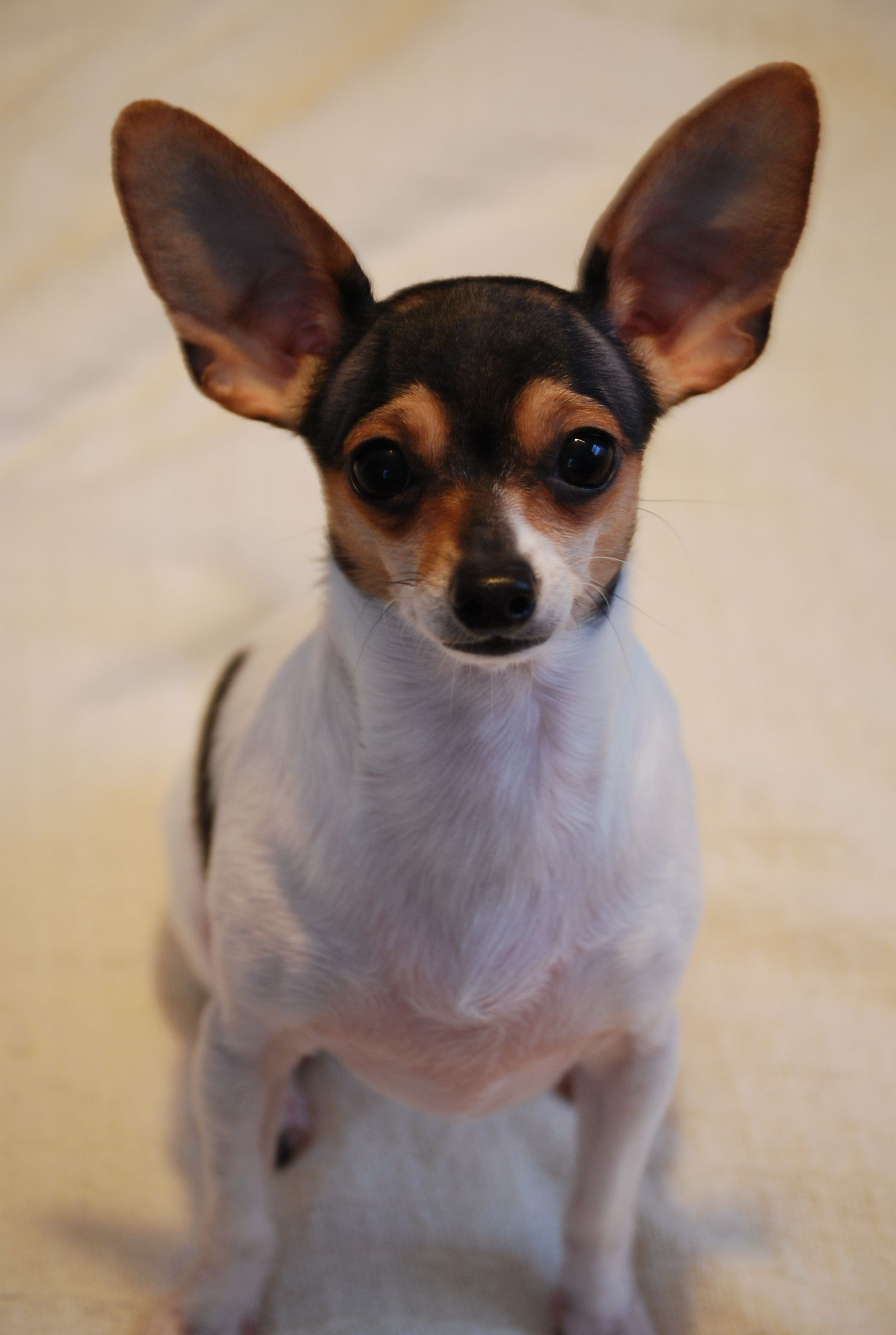 Tri Colored Chiweenie Short Haired Chiweenie Chihuahua Dog