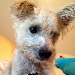 Adopt Jackson On Yorkie Dogs Yorkshire Terrier Terrier Mix Dogs
