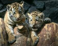 Adorable tiger cubs....