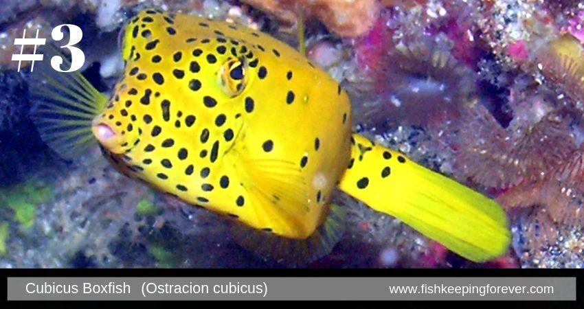 cubix boxfish saltwater fish marine fish invertebrates corals