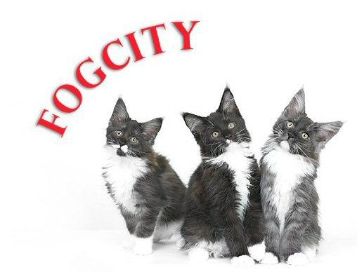 Fog City Maine Coons | Maine Coons and other fluffers