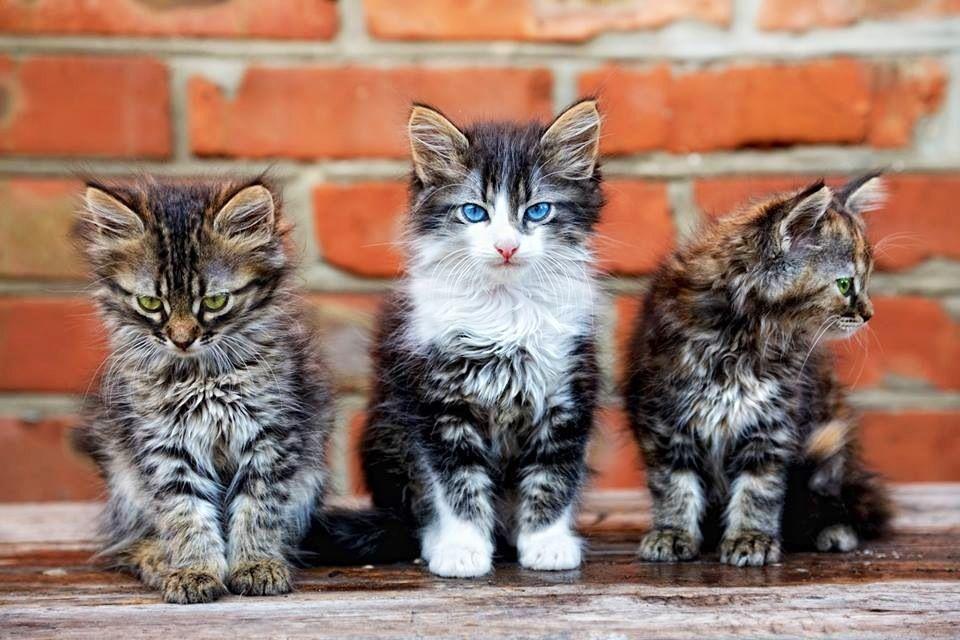 Three Little Kittens Lost Their Mittens Cats Kittens Cat