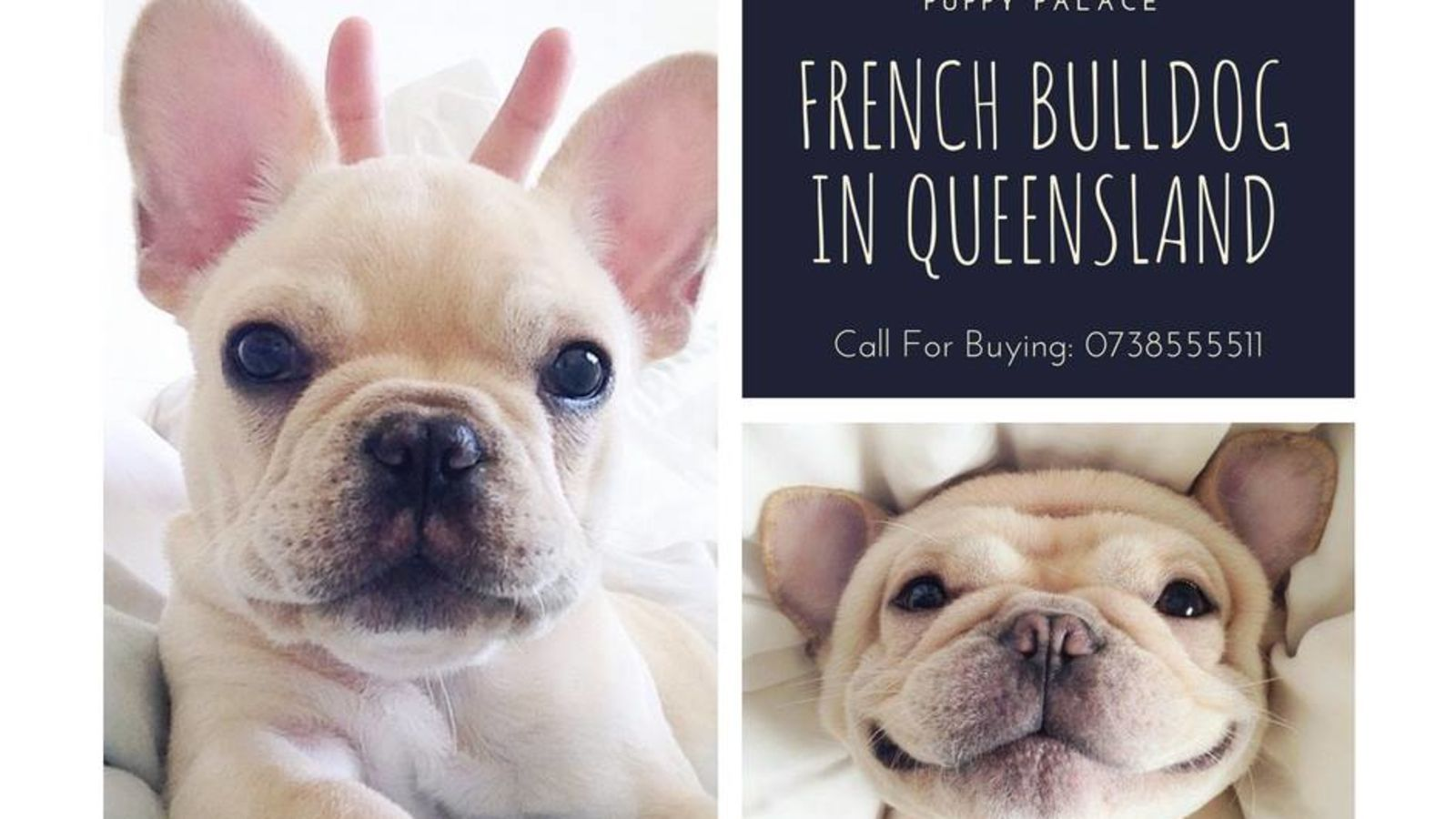Pin By Puppy Palace On Puppy Palace Pet Shop Bulldog French