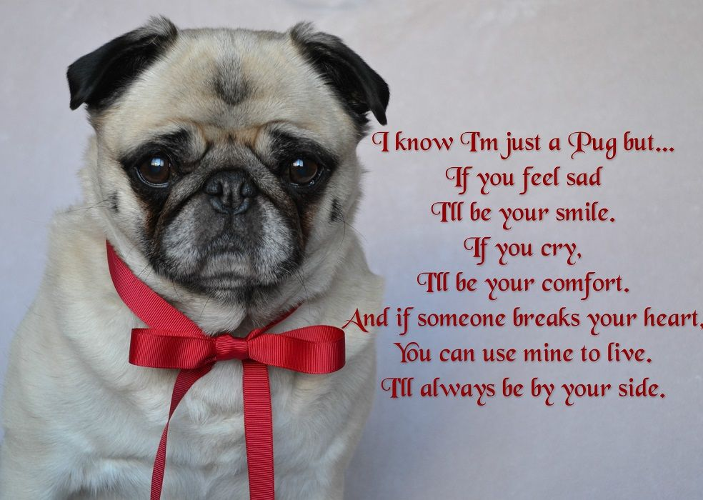 A Quote For Pug Lovers From Our Bailey Puggins With Images