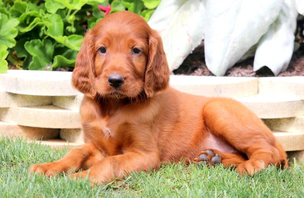 Betsy Puppies For Sale Irish Setter Puppies
