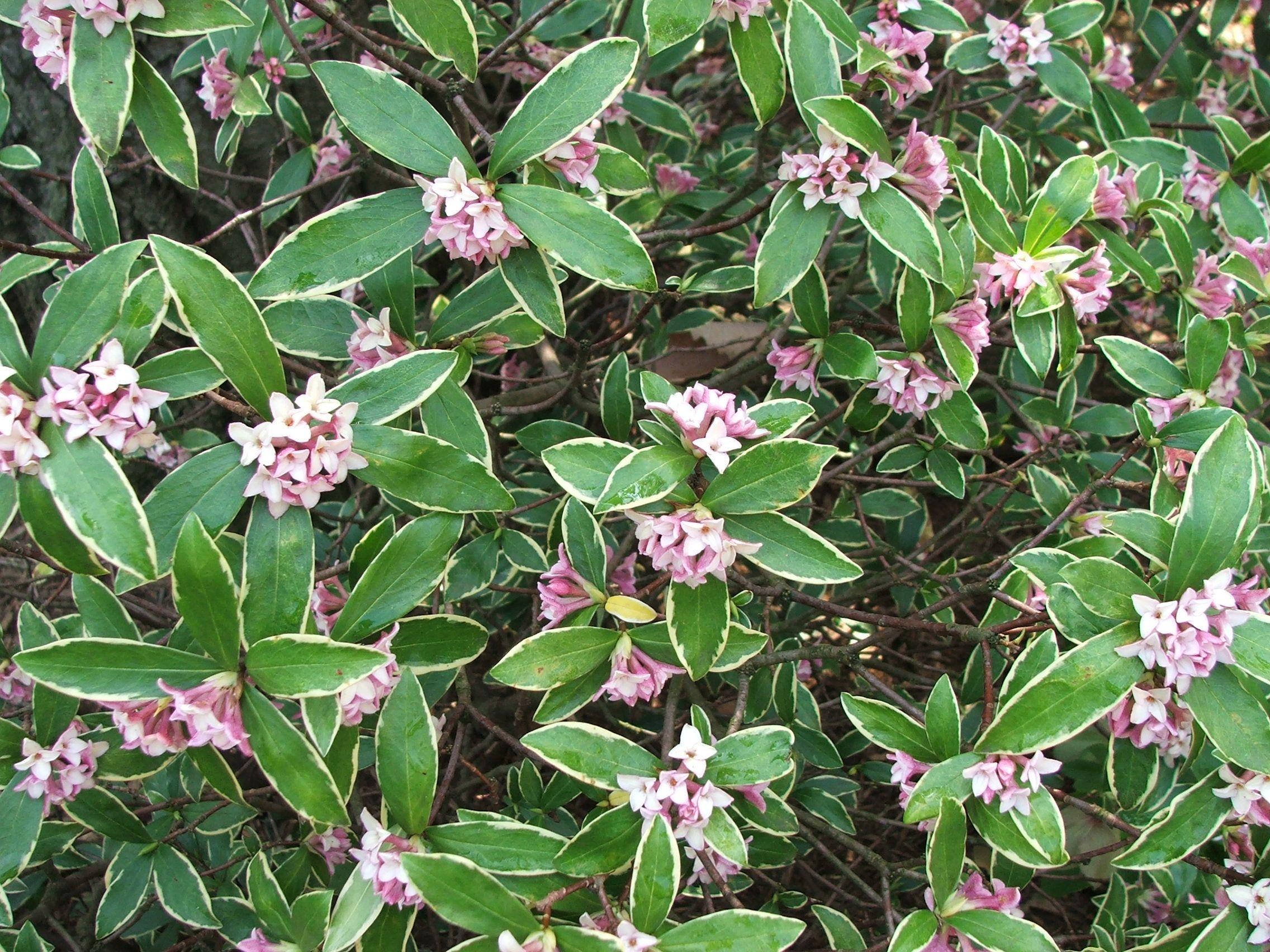 Daphne Odora Aureomarginata Is An Evergreen, Bushy Shrub With Glossy