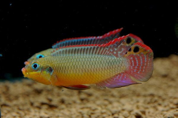 Pelvicachromis Taeniatus Moliwe West African Dwarf Cichlid Related To Kribensis Aquarium Fish Freshwater Fish Tropical Fish Pictures