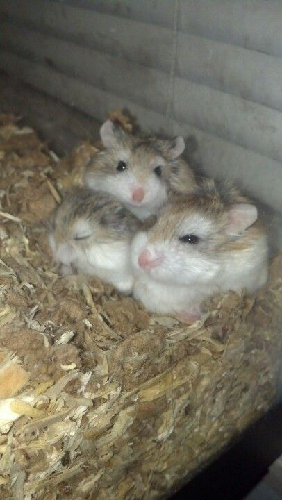 Robo hamsters so adorable!