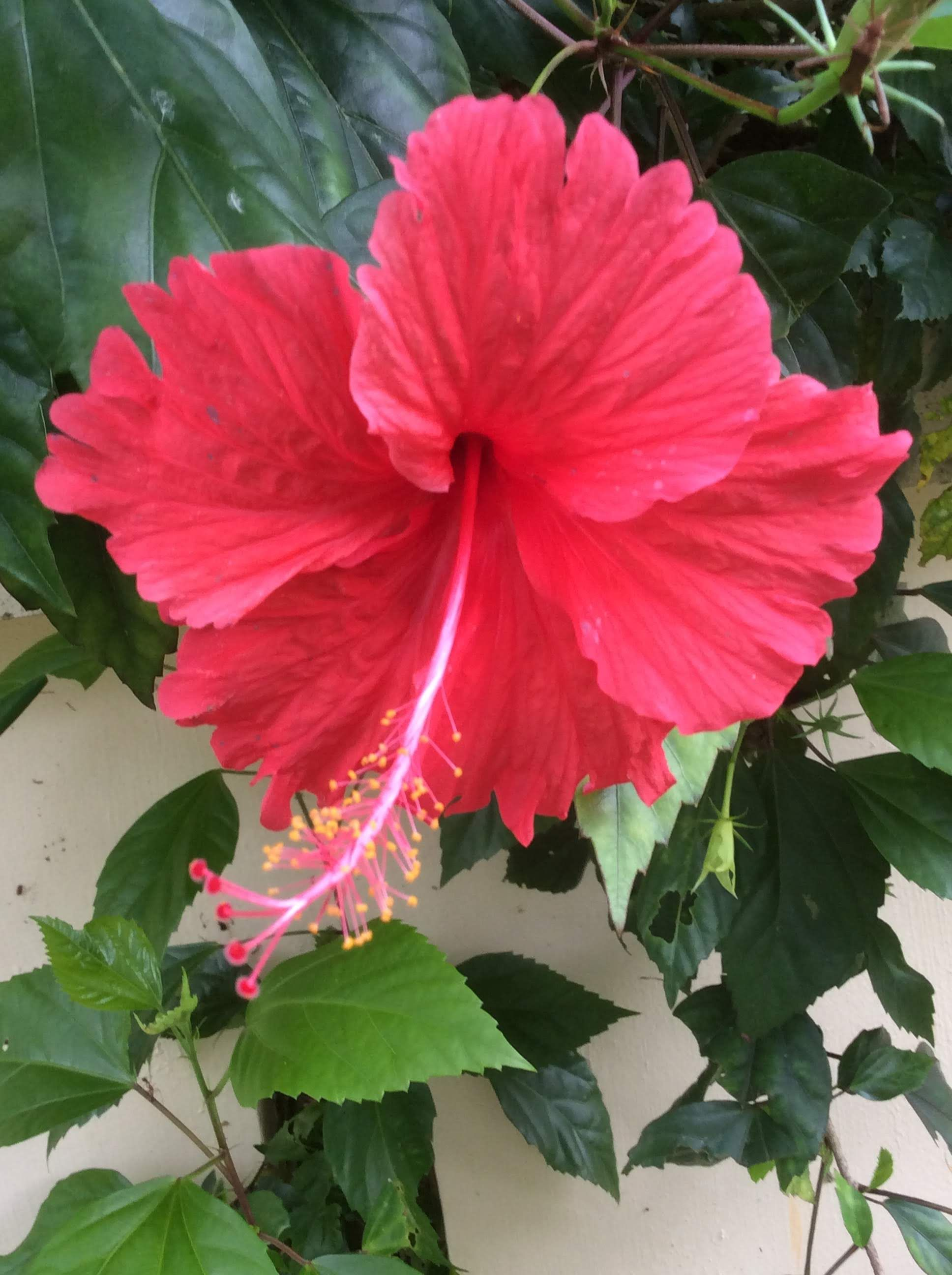 Hibiscus Flower We Can Use Flowers And Leaves Of This Plant For Hair Growth Treating Dandruff Etc Hibiscus Flowers Flowers Beautiful Flowers