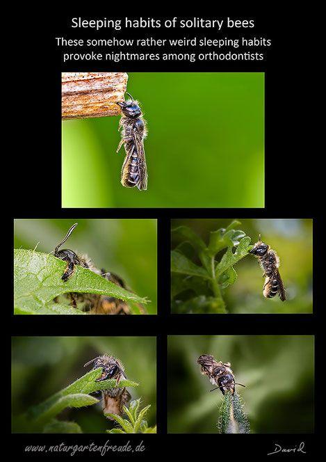Comfortable? Just for wild bees! :-) (Sleeping habits sleep solitary bees wild bees scissor bee poster wildlife gardening)