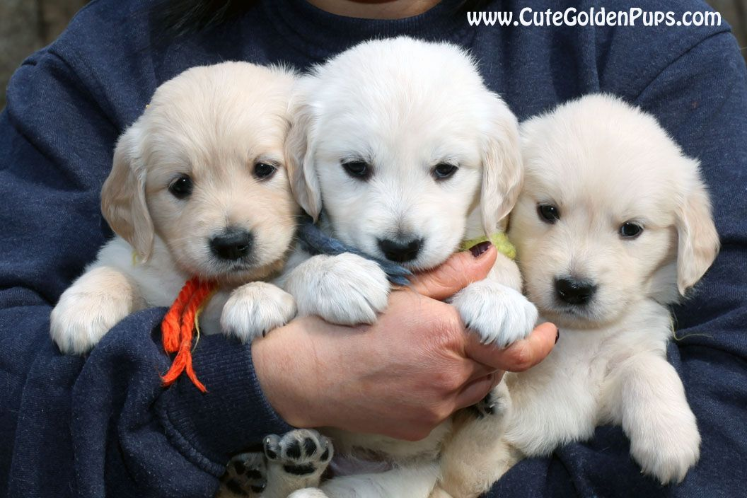 Golden Retriever Puppiescreamblondenjcamdnypadectmarinc