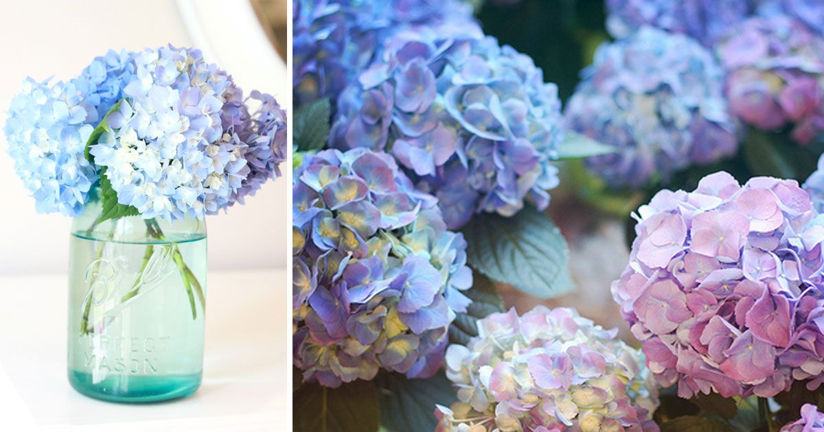 Add Coffee Grounds To Hydrangea Change The Color From Pink Blue