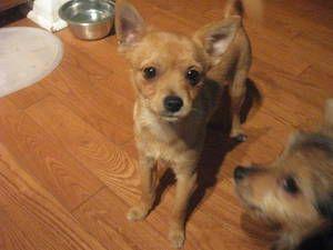 Chihuahua Pomeranian Yorkie Mix Yorkie Mix Yorkie