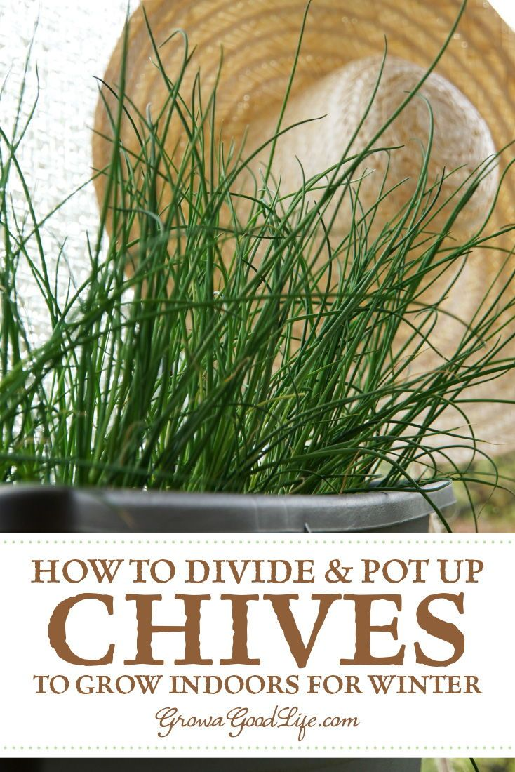 Grow Herbs Indoors Potting Up Chives Growing Plants 400 x 300