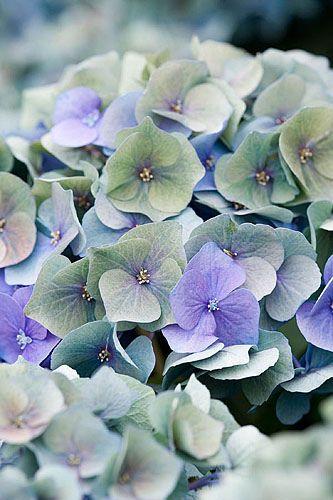 33591 Beautiful Flowers Pretty Flowers Hydrangea Flower