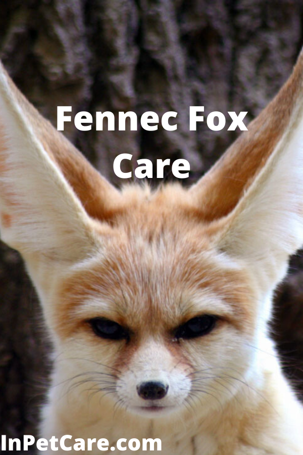 Tags fennec fox care fennec fox care sheet care of fennec
