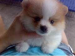 Mini Pomeranian For Sale Adoption In Singapore Adpost Com Mini Pomeranian Pomeranian For Sale Pomeranian