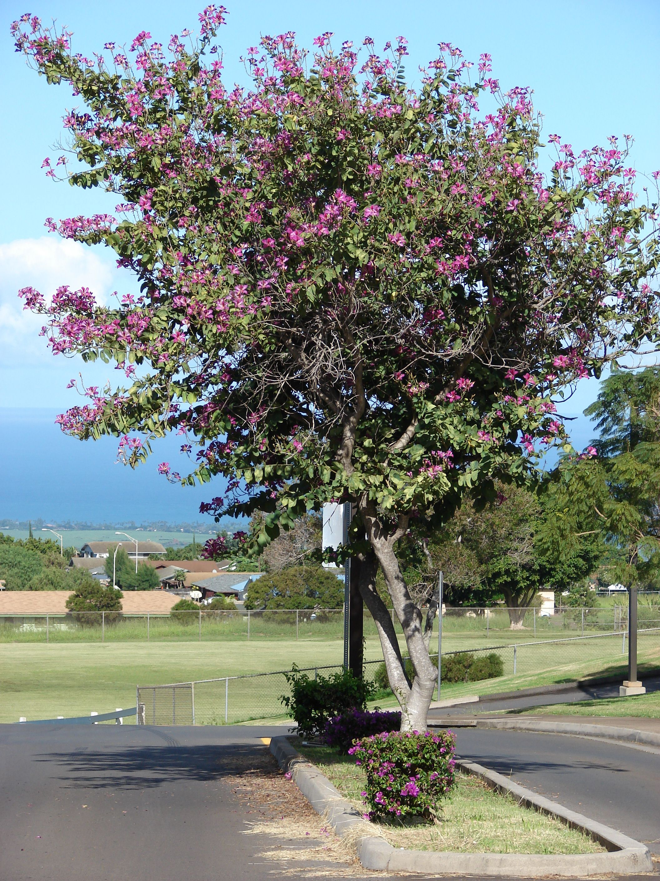 Bauhinia X Blakeana Hong Kong Orchid Tree Sun Ls 20 40x20 25 Fragrant Blooms For 4 Months Nov Feb Drought Tolerant Some Periods Of No Leaves