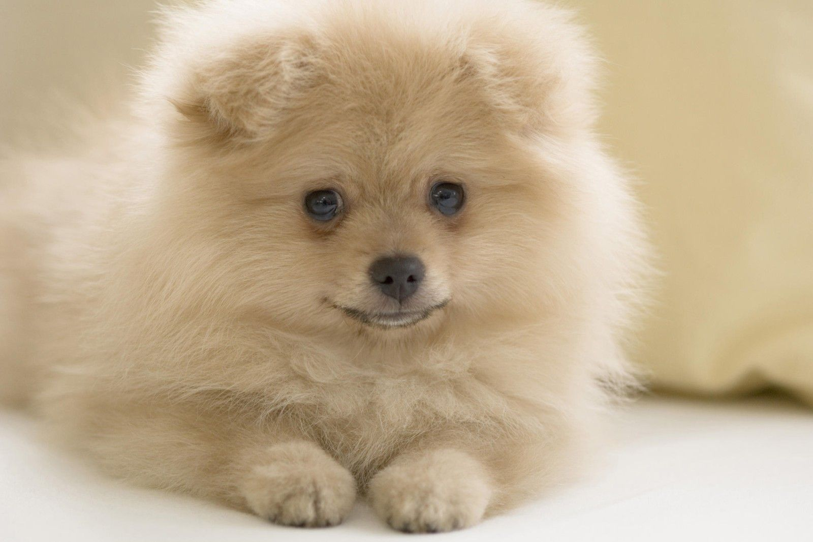Pomeranian Sheepdog Photo Pomeranian Puppy Pictures Pomeranian