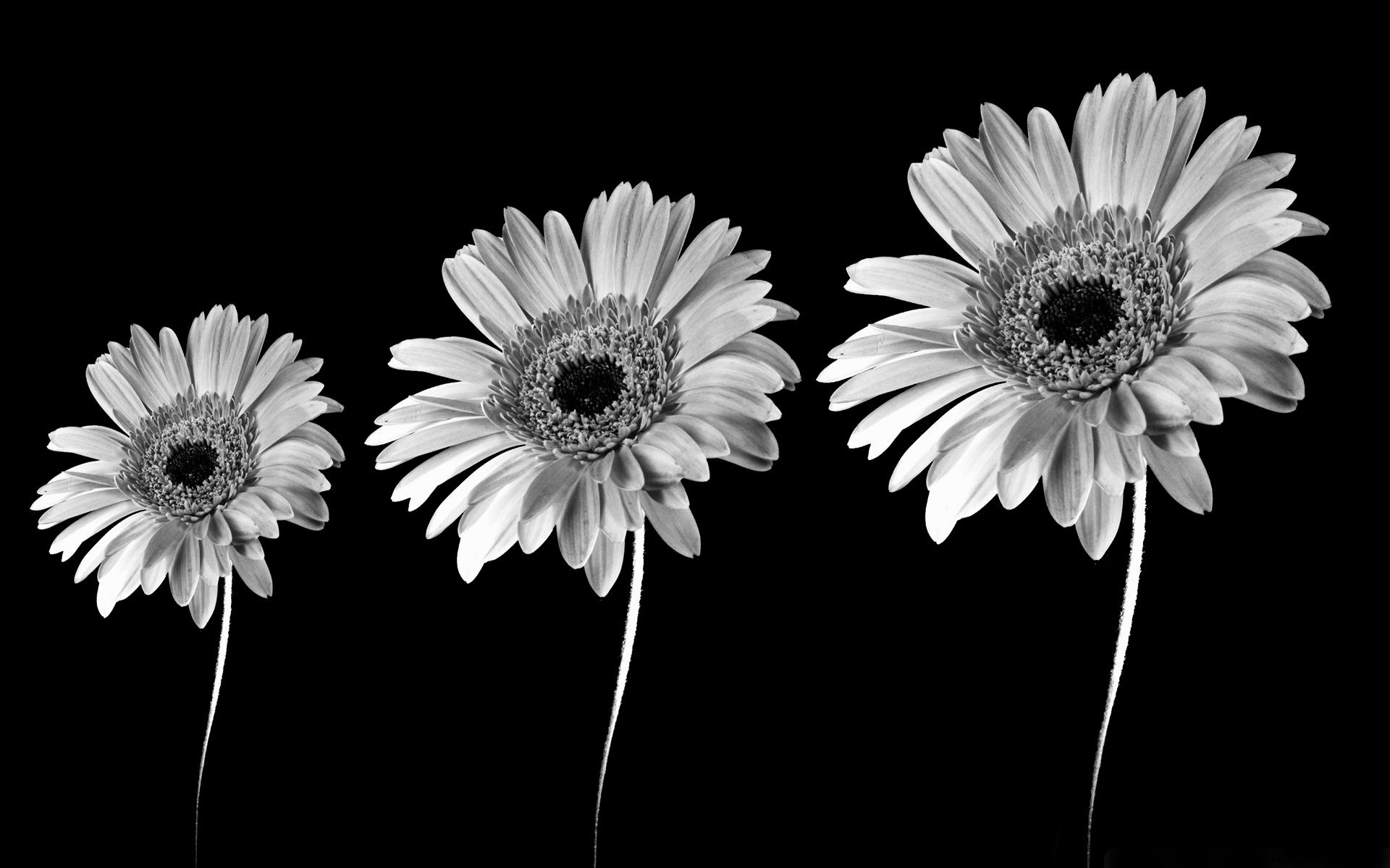 Flowers Black And White Flowers Flowers Black Background White