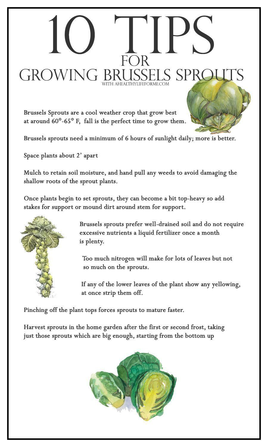 10 Tips For Growing Brussels Sprouts A Healthy Life For Me Organic Gardening Tips Growing Vegetables Organic Vegetable Garden