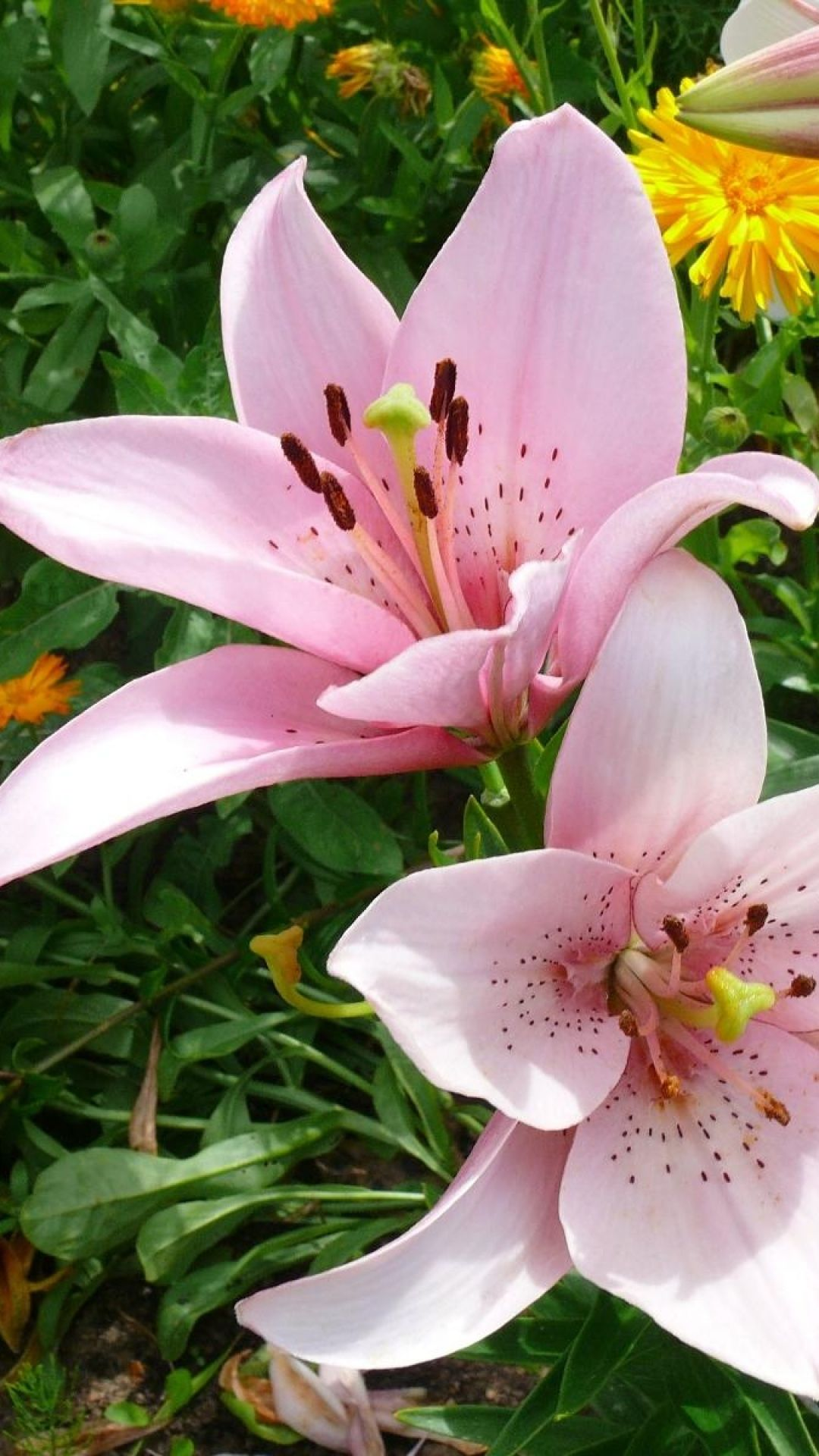 Oriental tree lily care tips for growing and caring tree lilies in asian tree lilies are a crossbreed cross in between asiatic as well as oriental lilies these sturdy perennials share the most effective attributes of both izmirmasajfo