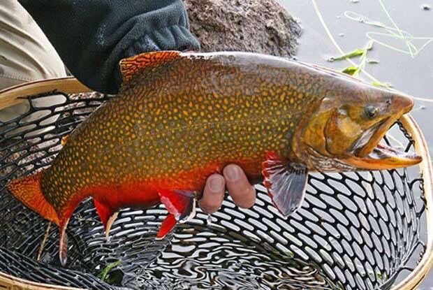 Brook Trout | Fishing Quotes | Trout fishing tips, Trout, Fish