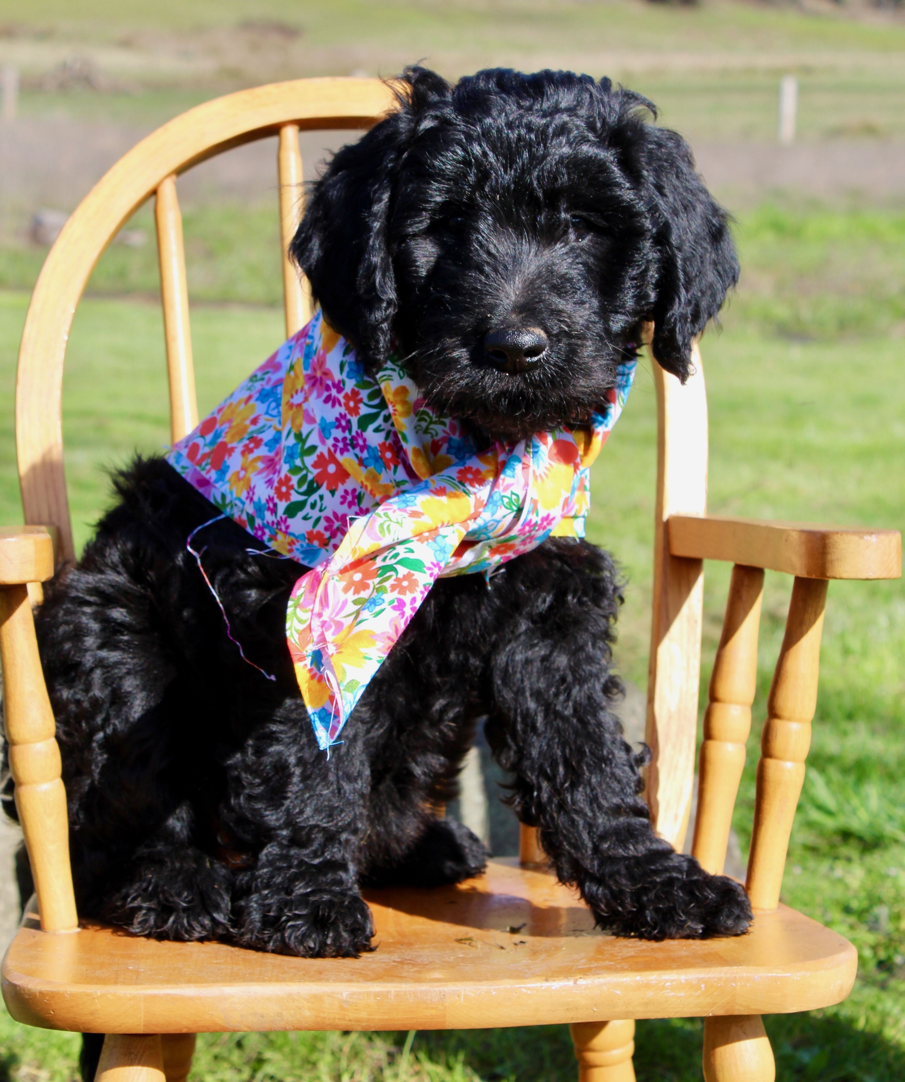 Josie Pye Female Goldendoodle Doggie For Sale At Yoncalla Oregon In 2020 Goldendoodle Goldendoodle Puppy Puppies