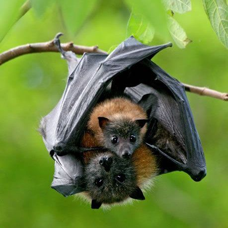 Fruit Bats As Pets The Occasional Bat on ...