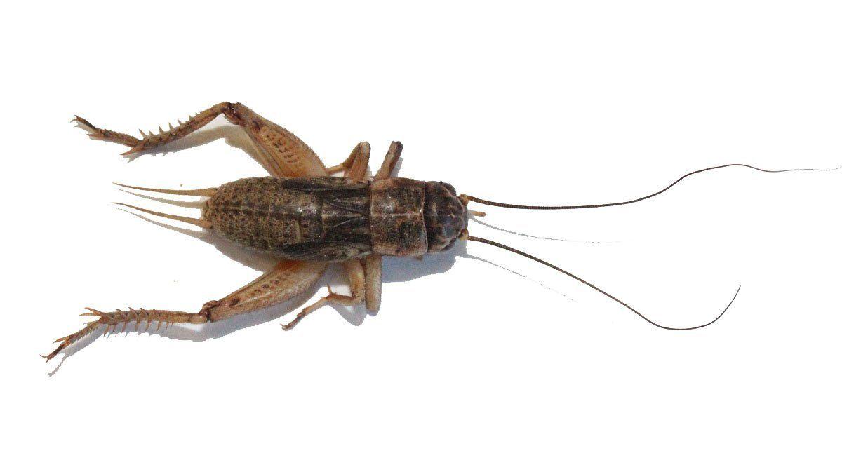 Amazon Com 1000 Live Crickets Large 1 Pet Supplies Live Cricket Gecko Food Bassetts