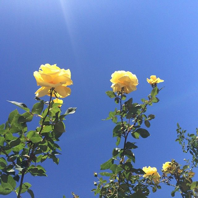 ♡pinterest Lollipoppin ♡ Rosas Amarelas Paisagem
