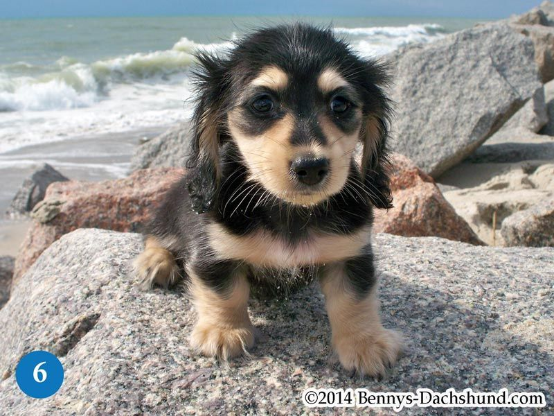 Kennel Free Dachshunds Puppies From Wilmington Nc Doxie 19