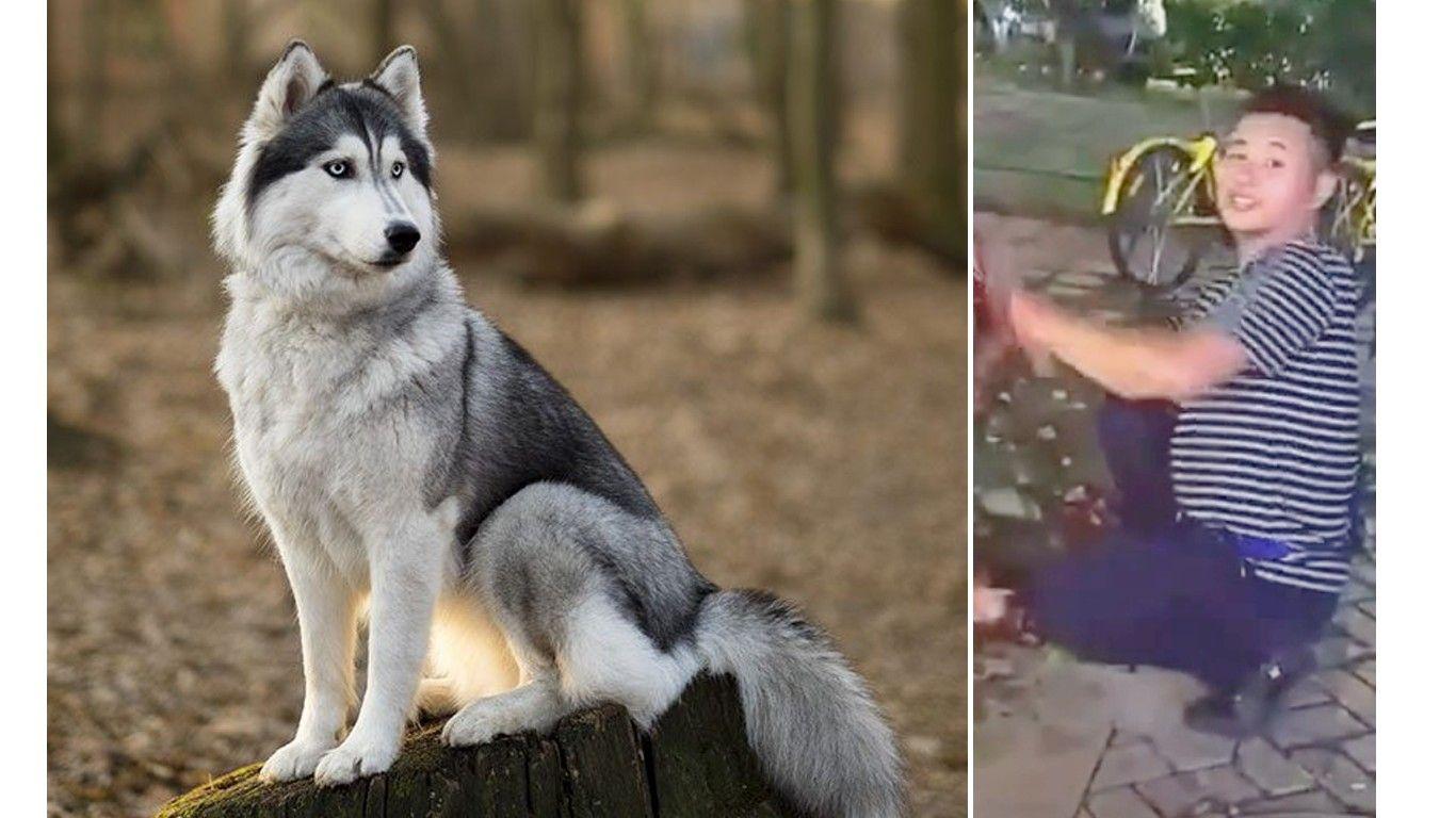 48 959 Siberian Husky Dog Husky Dogs