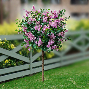 Korean Dwarf Lilac Tree 5 6 Feet High 5 6 Feet Wide Winter Hardy Blooms Late Spring Full To Part Sun Lilac Tree Outdoor Gardens Beautiful Gardens