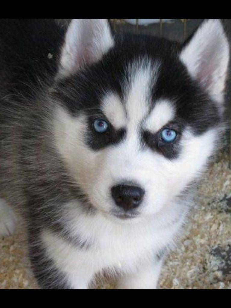 Husky Pup Husky Puppy Puppies With Blue Eyes Siberian Husky