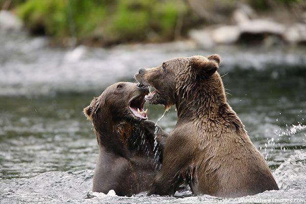 Grizzly Bears at play on the Russian River, Kenai Peninsula, Chugach National Forest, Alaska.