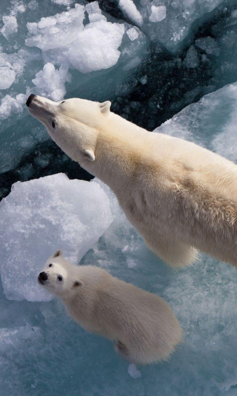 polar bears - fondos de pantalla gratis para 768x1280 | animals