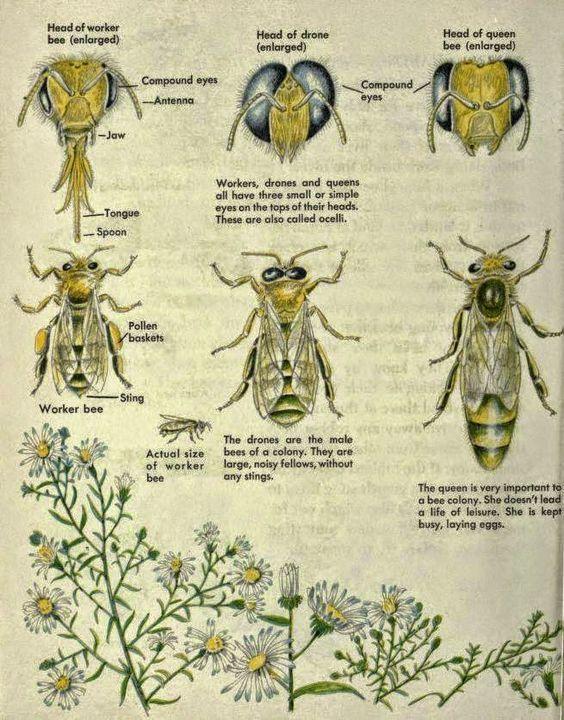 Posters: Clasificación, labores y anatomía de las abejas en ingles ...