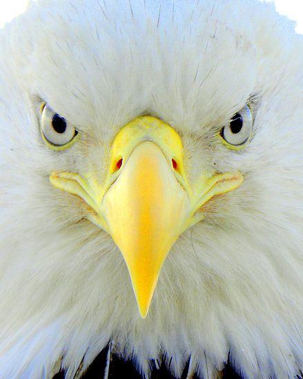~~Intensity ~ Bald Eagle ~ Dutch Harbor, Alaska by lanebrain photography~~