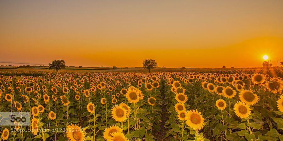 sunflowers sunset by cntrkrdnz #nature