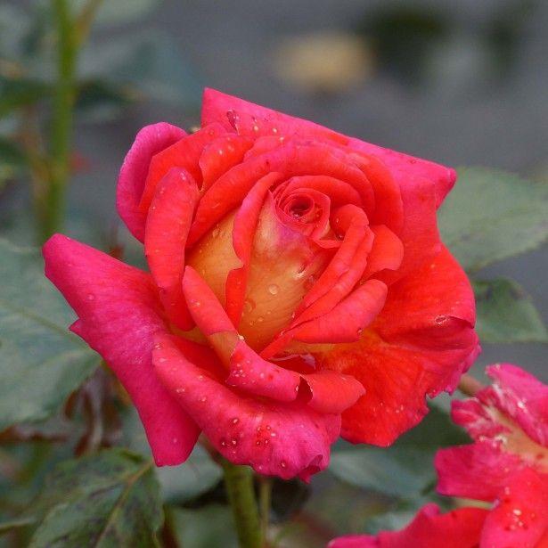 Rosier A Grandes Fleurs Parfum De Grasse Met Afbeeldingen
