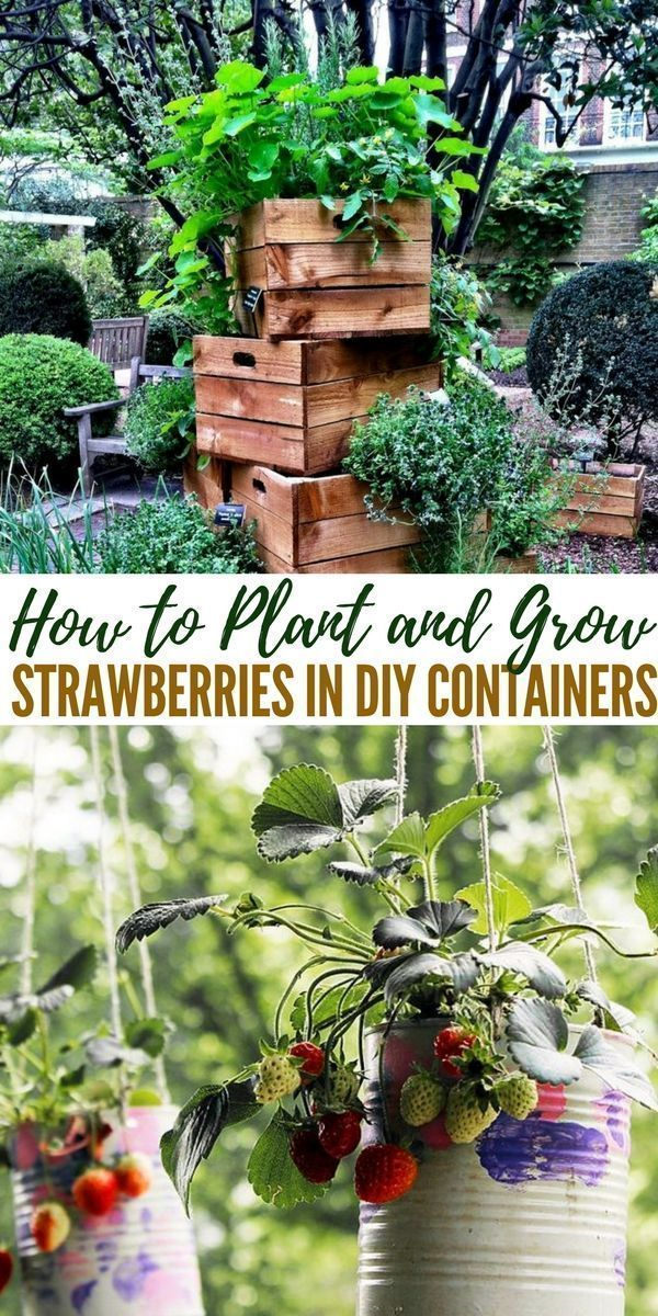 How to Plant and Grow Strawberries in DIY Containers #growingstrawberriesincontainers How to Plant and Grow Strawberries in DIY Containers #growingstrawberriesincontainers How to Plant and Grow Strawberries in DIY Containers #growingstrawberriesincontainers How to Plant and Grow Strawberries in DIY Containers #growingstrawberriesincontainers How to Plant and Grow Strawberries in DIY Containers #growingstrawberriesincontainers How to Plant and Grow Strawberries in DIY Containers #growingstrawberr #growingstrawberriesincontainers